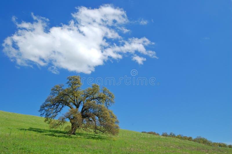 Eiken boom in de lente stock afbeeldingen