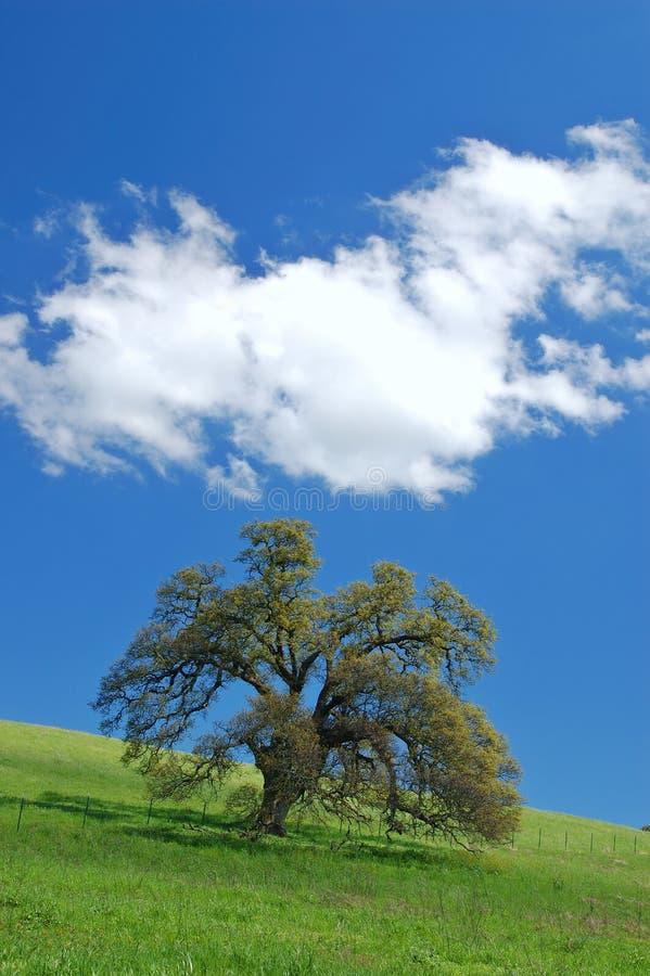 Eiken boom in de lente royalty-vrije stock afbeeldingen