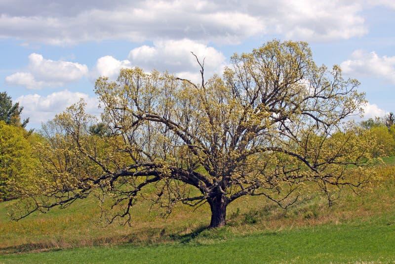 Eiken boom in de Lentequercus stock foto