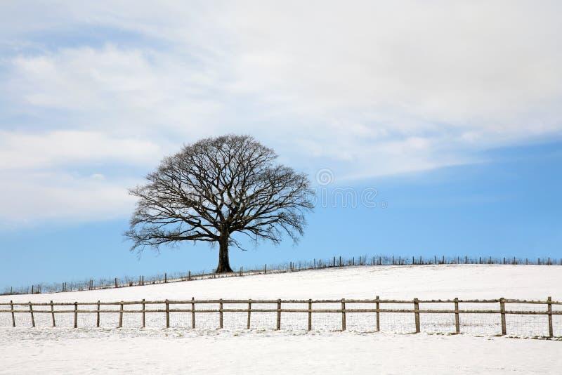 Eiken Boom in de Winter royalty-vrije stock afbeelding
