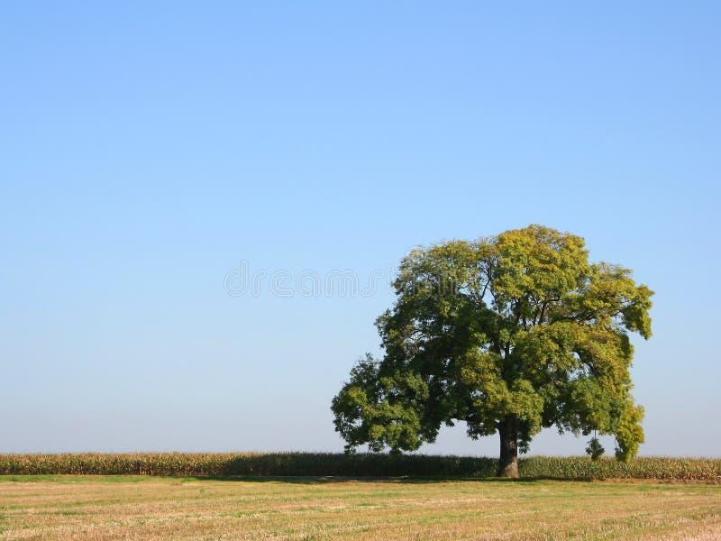 Eiken boom in de zomer stock afbeelding