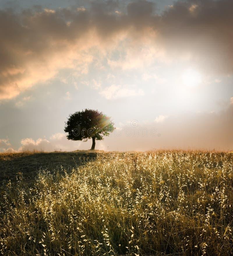 Eiken boom in de zonsondergang stock afbeeldingen