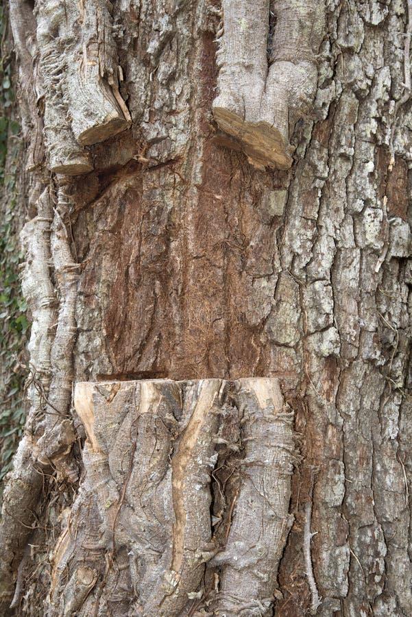Eiken boom en besnoeiingsklimopwijnstokken royalty-vrije stock foto's