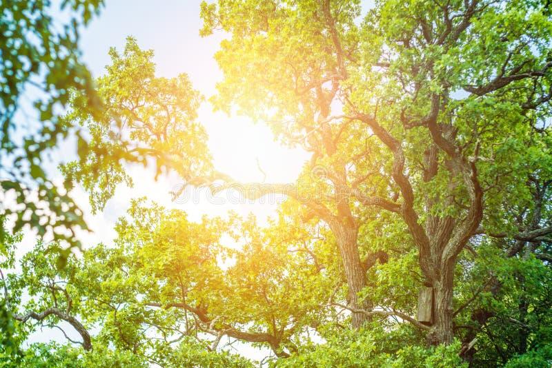 Eiken boom en zon royalty-vrije stock afbeeldingen