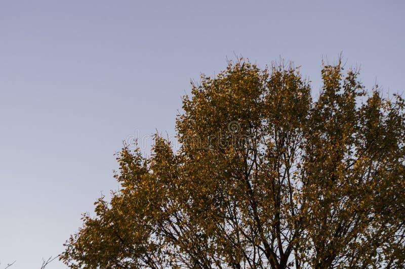Eiken boom met rode bladeren op de achtergrond met blauwe hemel Daling royalty-vrije stock afbeeldingen
