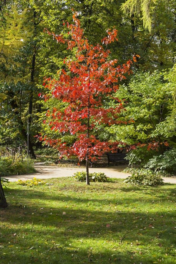 Eiken boom met rood geworden bladeren tegen groene bomen royalty-vrije stock fotografie