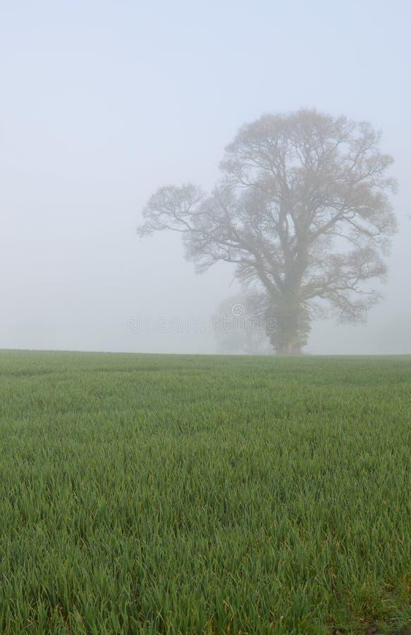 Eiken boom op een Engels gewassengebied stock fotografie