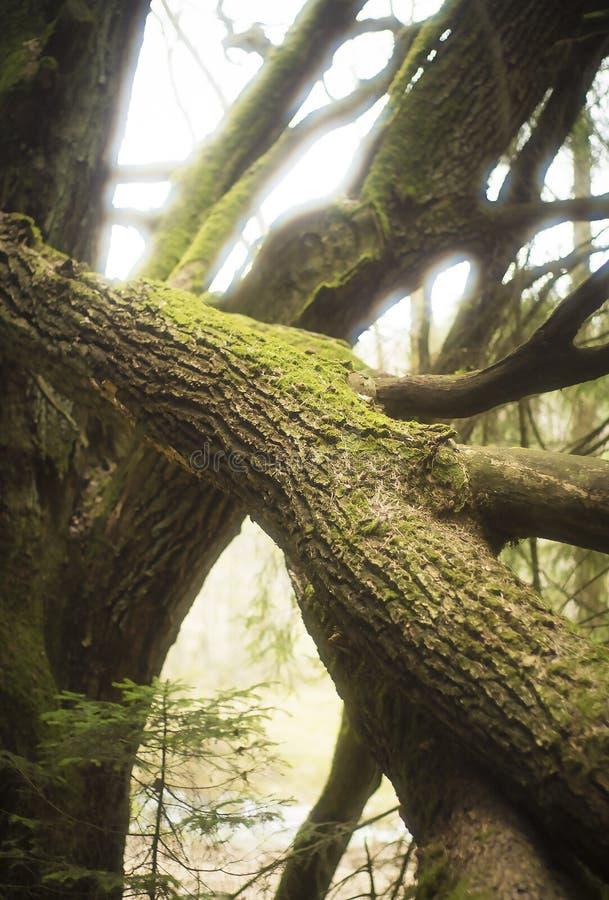 Eiken boom (Quercus robur) takken stock foto