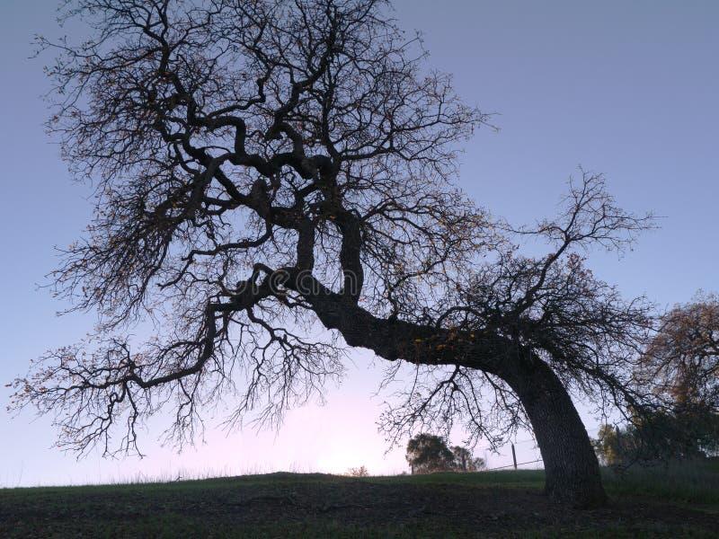 Eiken boom tegen zonsondergang stock afbeelding