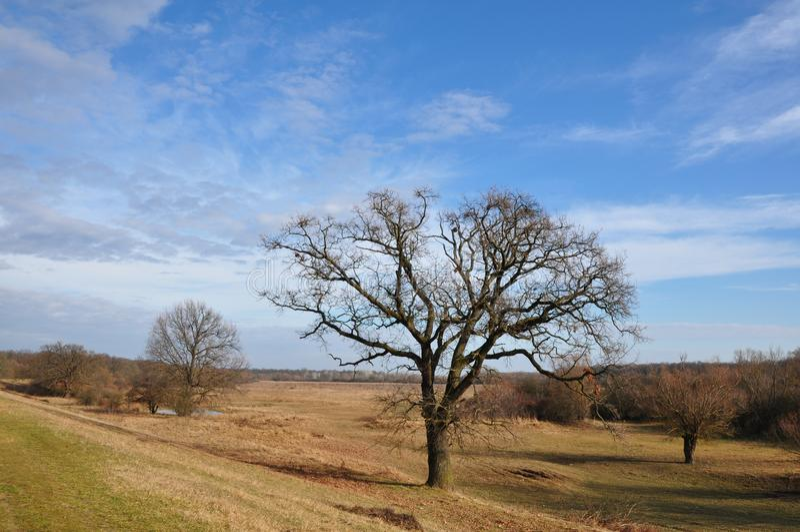 Eiken boom zonder blad stock foto's