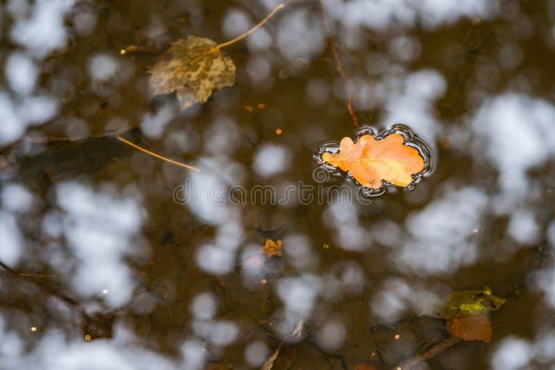Eiken boomblad die in water drijven stock afbeelding