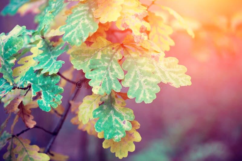 Eiken boomtakken met kleurrijke bladeren royalty-vrije stock fotografie