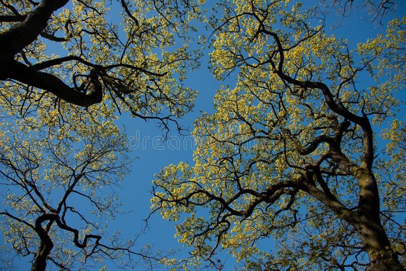 Eiken boomtakken in silhouet royalty-vrije stock afbeeldingen