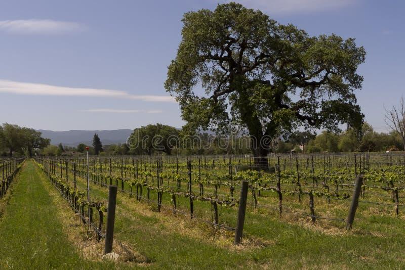 Eiken boomwijngaard stock afbeelding