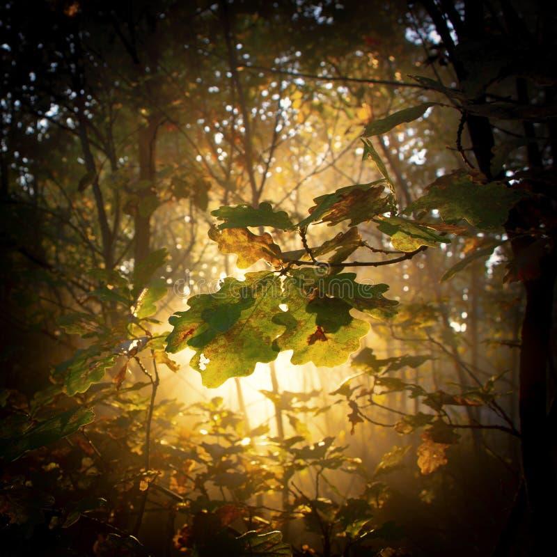 eiken bos in de herfst, met sun& x27; s stralen die door de takken filtreren royalty-vrije stock foto's