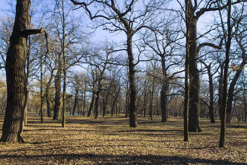 Eiken bosje in de winter op een zonnige dag stock fotografie