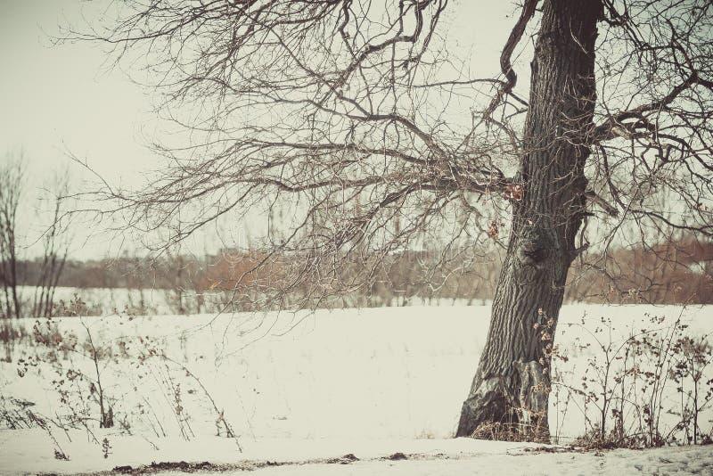 Eiken bosje in het de winter witte bos stock foto