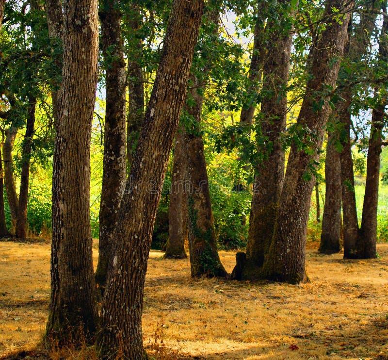 eiken bosje in het park royalty-vrije stock afbeeldingen