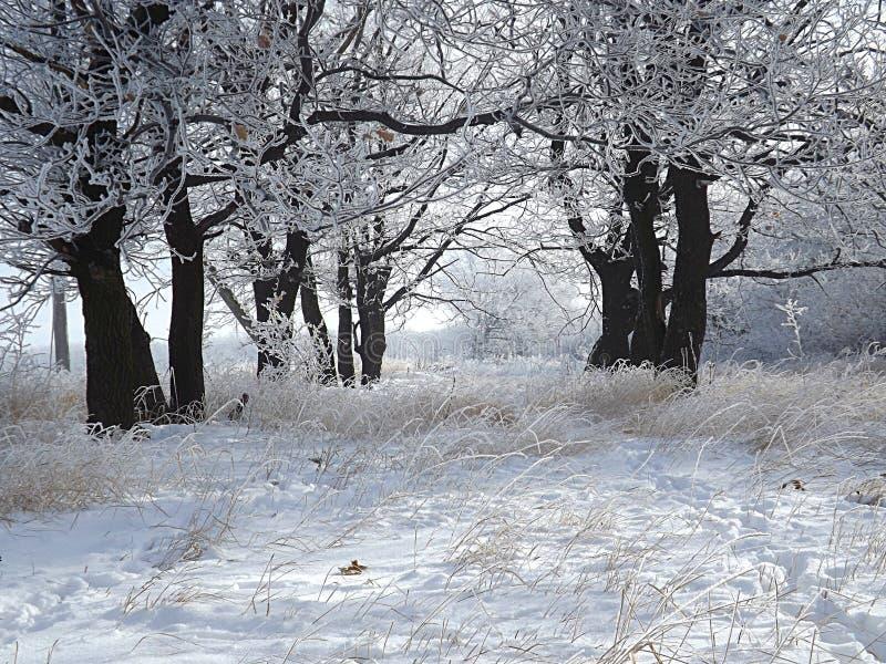 Eiken bosje op een koude de winterdag royalty-vrije stock fotografie