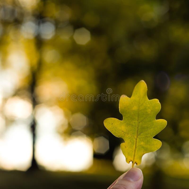 Eiken de herfstblad stock foto