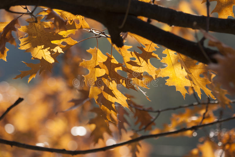 Eiken de herfstbladeren royalty-vrije stock foto