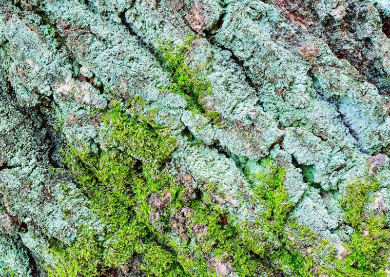 Eiken schors die met mos wordt overwoekerd stock afbeeldingen
