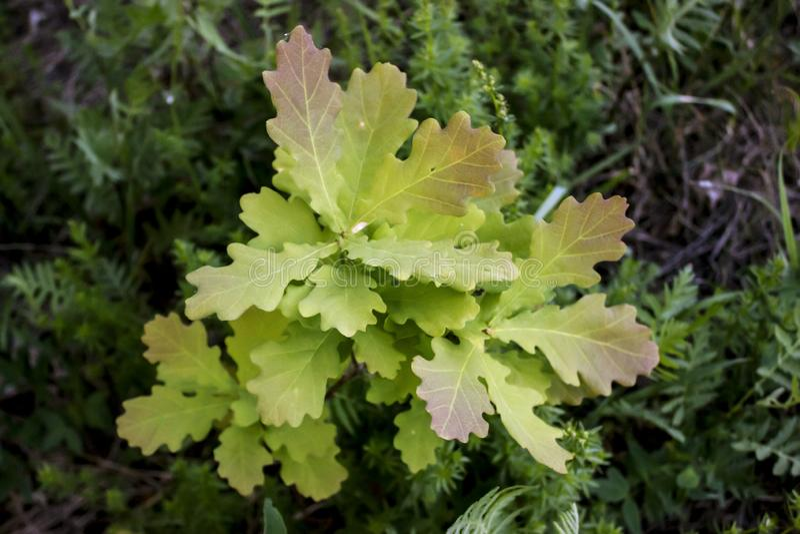 Eiken spruit met jonge bladeren stock afbeelding