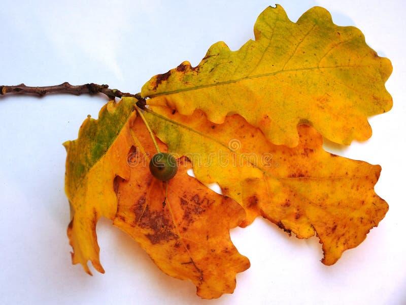 Eiken tak met gele de herfstbladeren en eikel op een witte backgr royalty-vrije stock foto