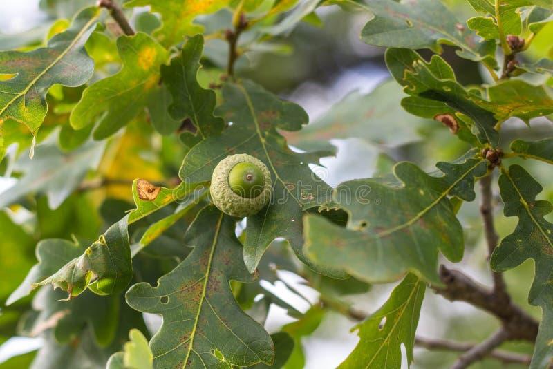 Eiken tak met groene bladeren en eikels op een zonnige dag Eiken Boom in de Zomer vage bladachtergrond royalty-vrije stock foto's