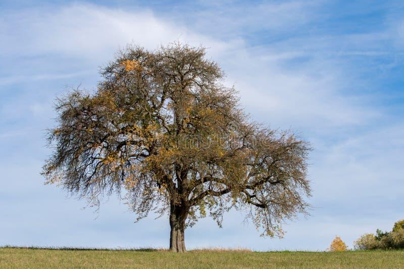 eikenboom in het najaar royalty-vrije stock foto's