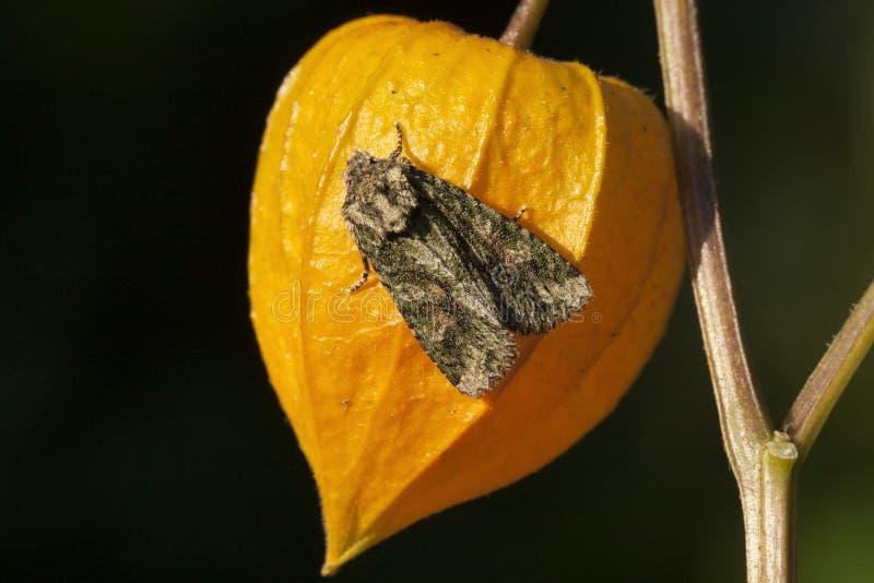 Eikenuiltje,有斑绿色, Dryobotodes eremita 库存图片