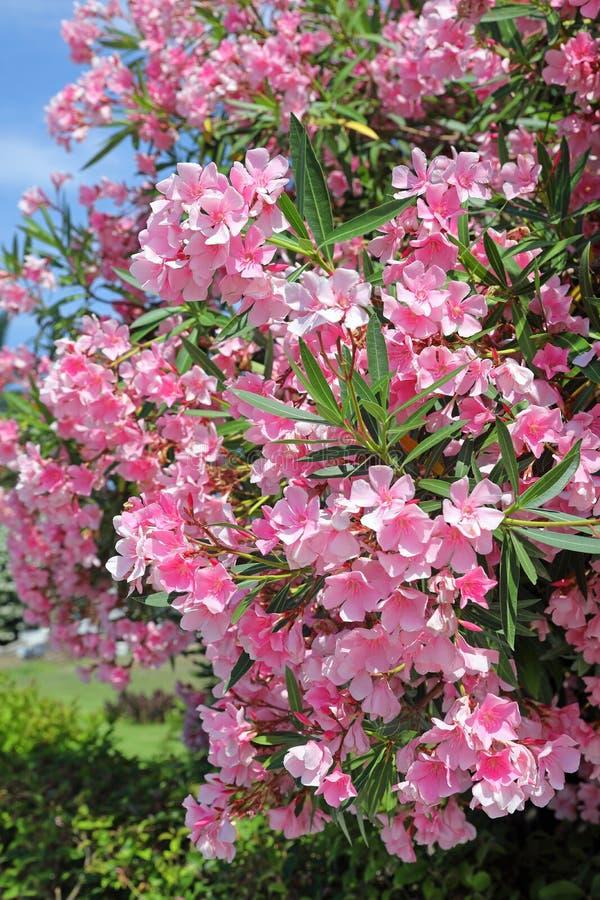 Eiland Krete Bush met het roze close-up van de bloemenoleander royalty-vrije stock afbeelding