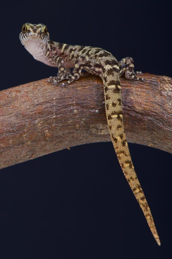 Eiland Minste gekko/Sphaerodactylus-sputator stock afbeeldingen