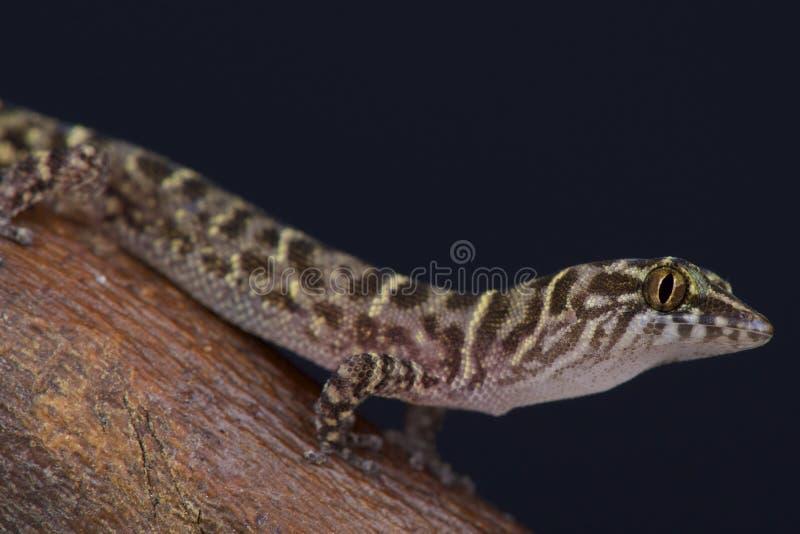 Eiland Minste gekko/Sphaerodactylus-sputator royalty-vrije stock foto's