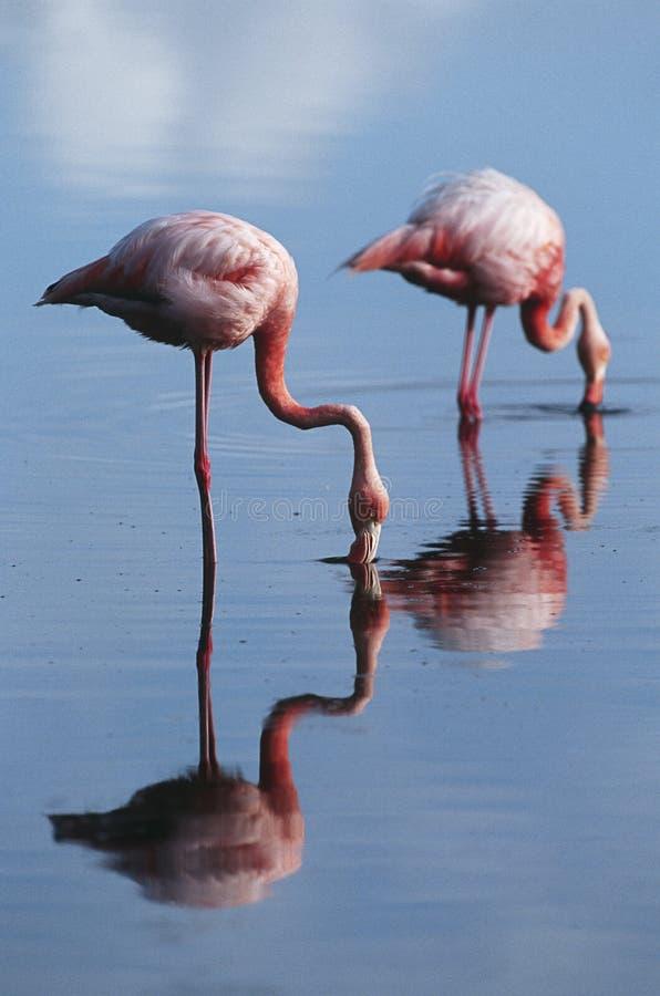 Eilanden twee van Ecuador de Galapagos Grotere Flamingoes die zich in ondiep water zijaanzicht bevinden royalty-vrije stock fotografie