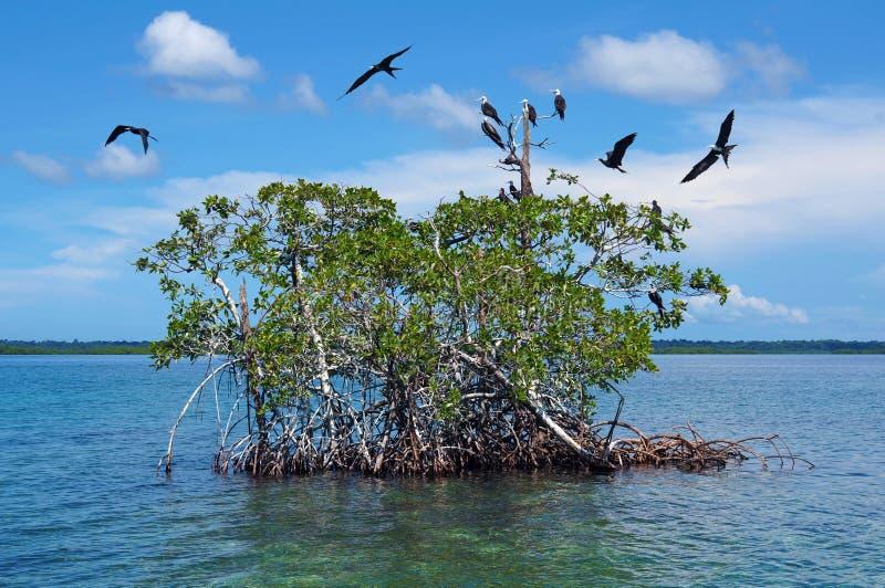 Eilandje van mangrove met zeevogel Caraïbische overzees stock foto