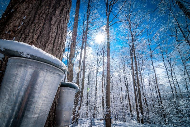 Eimer im Holz eines Ahorns im März, werden fertig, Saft zu sammeln stockfotografie