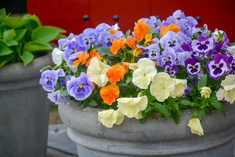 Eimer mit bunten Violablumen, Frühlings-Saison in den Niederlanden, Gartendekoration stockfotos