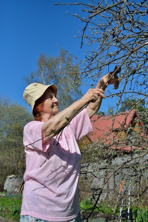Ein älterer Frauengärtner schier Schnitte der Apple-Baumast in s lizenzfreie stockfotografie