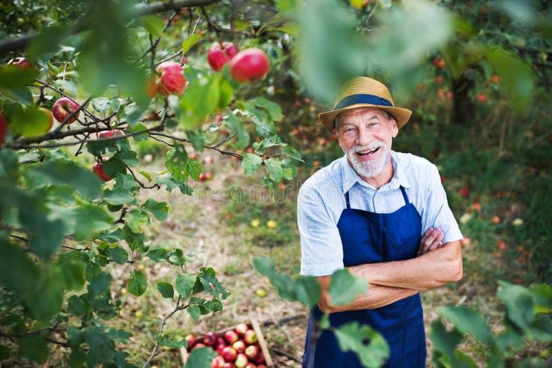 Ein älterer Mann, der im Apfelgarten im Herbst, Arme gekreuzt steht stockbilder