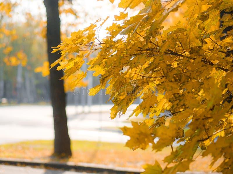 Ein üppiger Ahornzweig mit gelben Blättern in der hellen Sonne Warmer Herbsttag Helle Herbstfarben lizenzfreies stockbild
