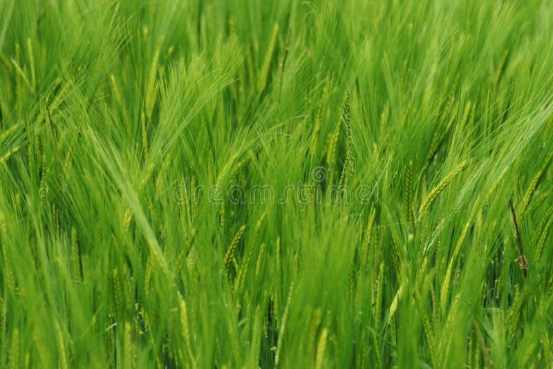 Ein üppiges grünes Feld im Sommer stockbilder