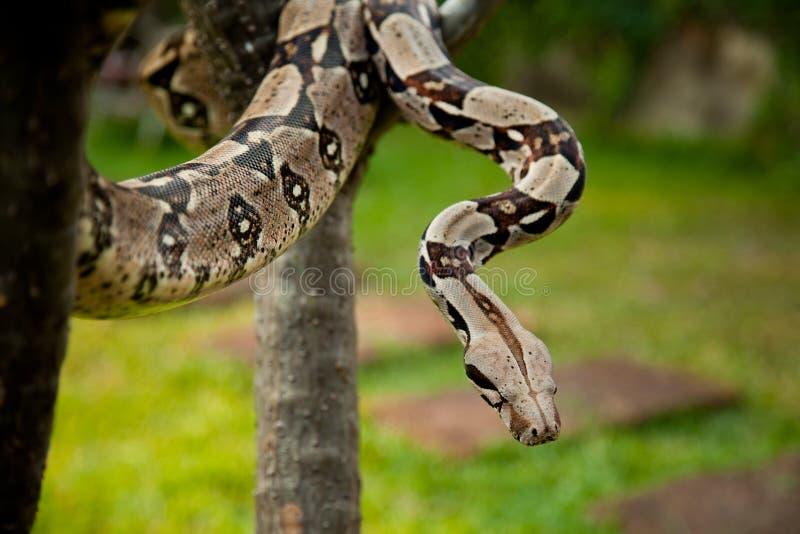 Kolumbien-Boa constrictor. lizenzfreies stockbild