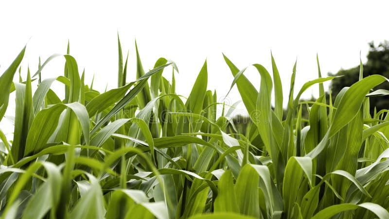 Ein Abschluss herauf Ansicht von Maisblättern auf einem Maisgebiet stockfotografie