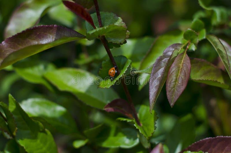 Ein Abschluss herauf Damenwanze auf den Blättern im Park lizenzfreie stockfotos