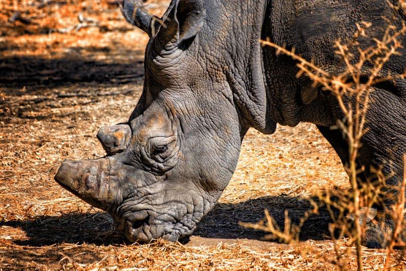 Ein Abschluss herauf Foto des Nashorns, Nashornkopf in Senegal, Afrika Es ist Tierfoto der wild lebenden Tiere Sein Horn wird abg stockfotografie