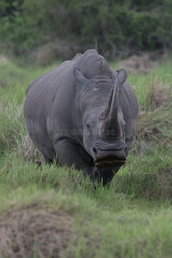 Ein Abschluss herauf Foto eines gef?hrdeten wei?en Nashorns/des Nashorngesichtes, des -horns und des -auges Ber?hmter Kanonkop We stockfotografie