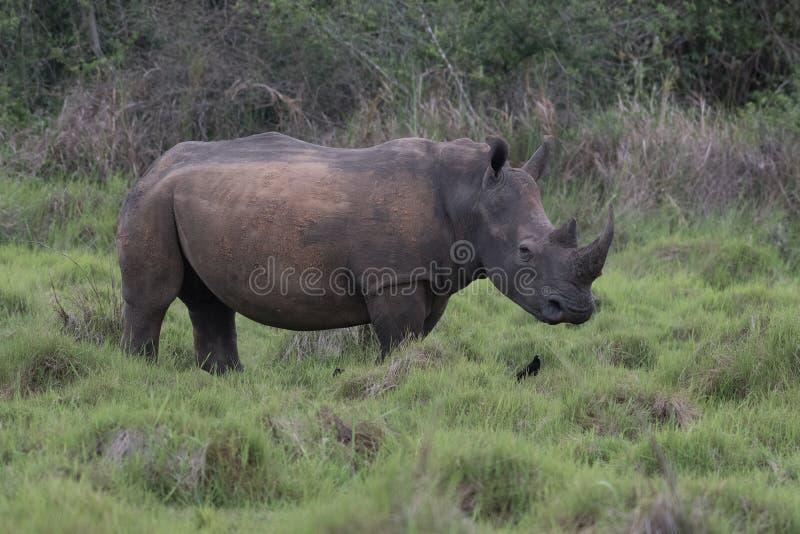 Ein Abschluss herauf Foto eines gef?hrdeten wei?en Nashorns/des Nashorngesichtes, des -horns und des -auges Ber?hmter Kanonkop We lizenzfreies stockfoto