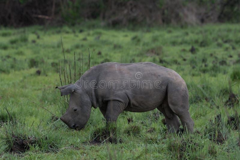 Ein Abschluss herauf Foto eines gef?hrdeten wei?en Nashorns/des Nashorngesichtes, des -horns und des -auges Ber?hmter Kanonkop We lizenzfreie stockfotos
