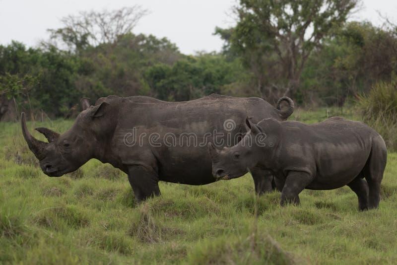 Ein Abschluss herauf Foto eines gef?hrdeten wei?en Nashorns/des Nashorngesichtes, des -horns und des -auges Ber?hmter Kanonkop We stockbilder